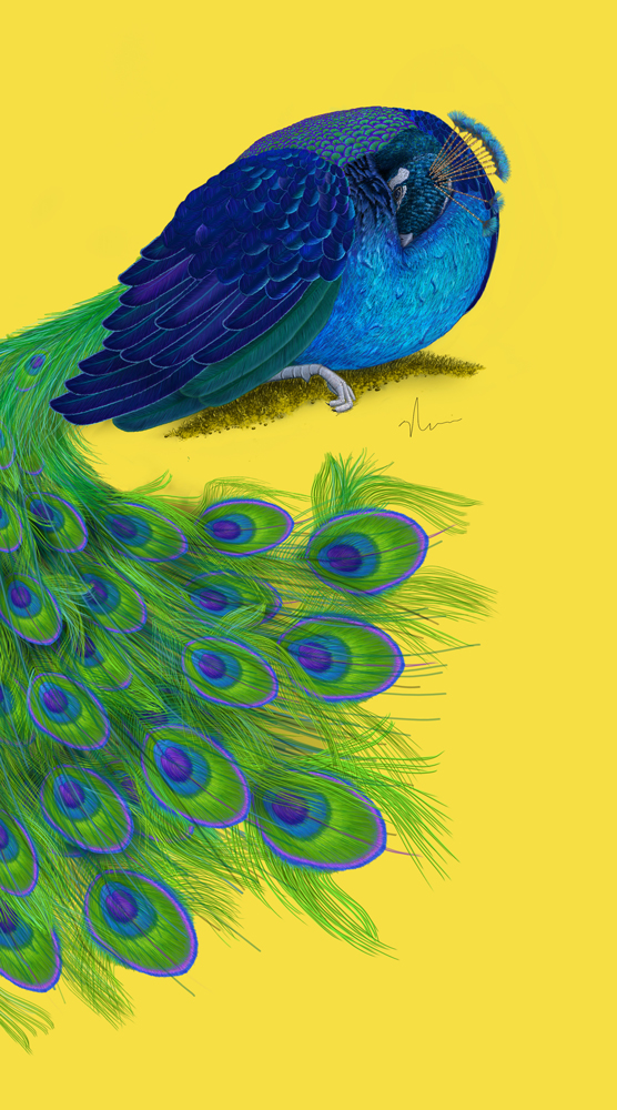 peacock_final_vertical_web_bynicolebarker