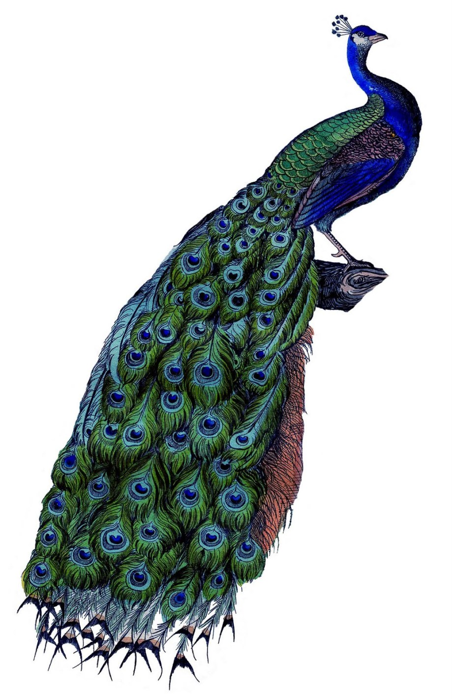 peacock-vintage-graphicsfairy001c